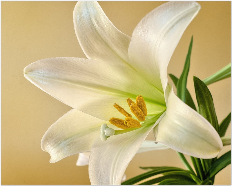 White Easter lily flower bloom close up with green lily plant leaves with a yellow background for Easter word starting with letter L