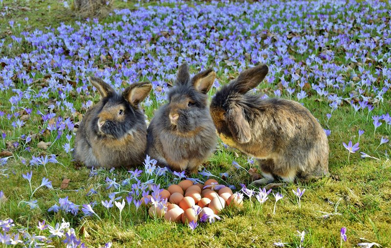Three brown and grey rabbits in a green grassy shaded field with many purple crocus flowers growing, next to a pile of eggs for Easter R word list