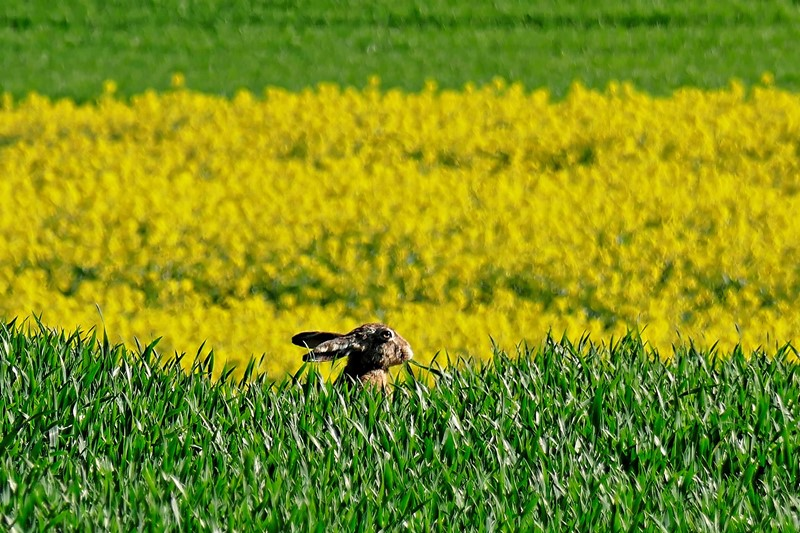 Brown hare with big ears in a field of green grass with a section of yellow flowers for letter Y Easter words