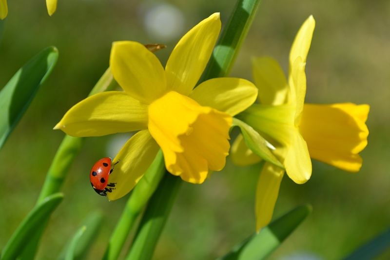 Two yellow Easter daffodils with a red ladybug for the letter D