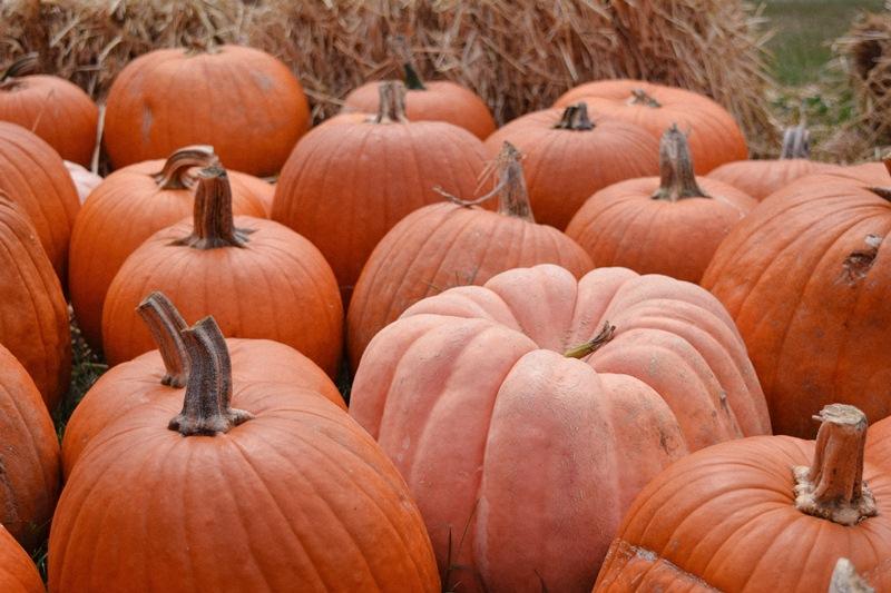 thanksgiving start p pumpkins