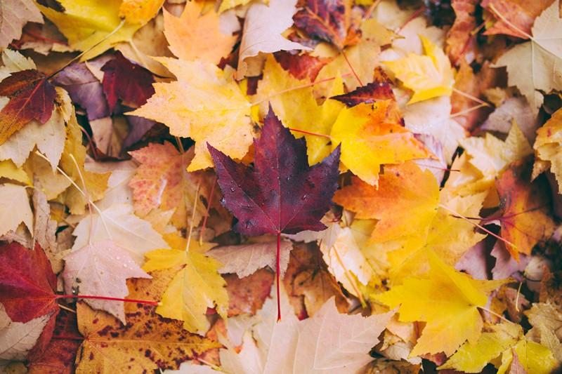 thanksgiving start l leaves